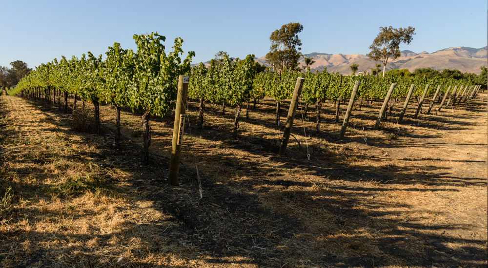 Salal Vineyard Photo